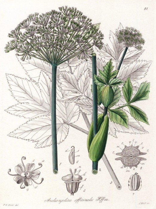 angelica_officinalis.jpg