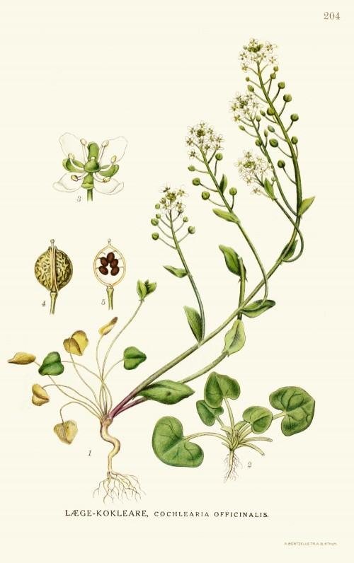 cochlearia_officinalis.jpg