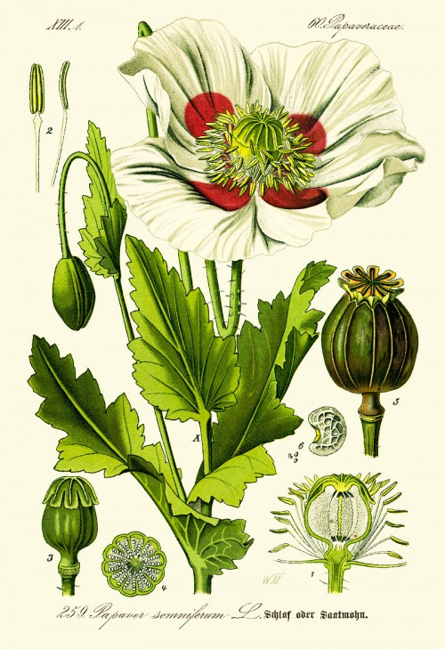 papaver_somniferum.jpg