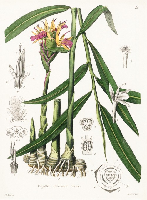 zingiber_officinale.jpg