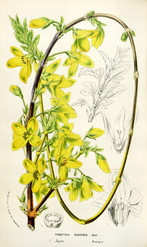 forsythia_suspensa.jpg