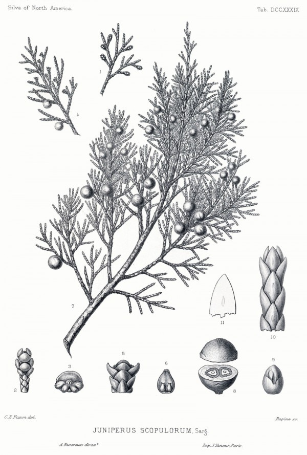 juniperus_scopulorum.jpg