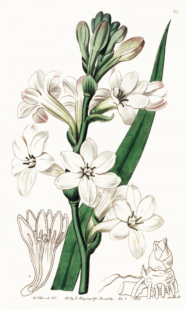 polianthes_tuberosa.jpg