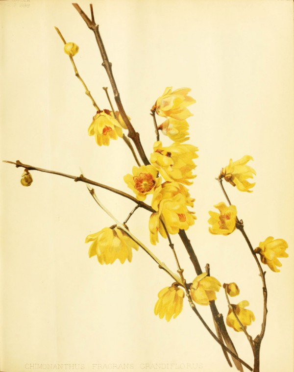 chimonanthus_fragrans.jpg