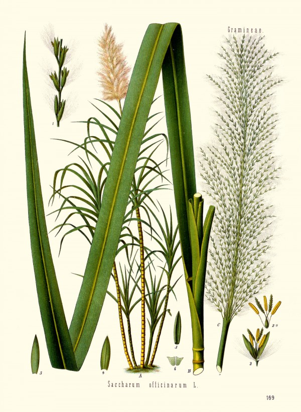 saccharum_officinarum.jpg