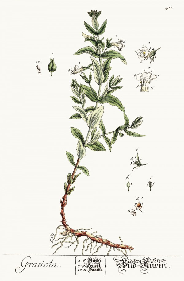 gratiola_officinalis.jpg