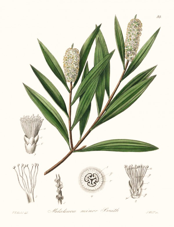 melaleuca_minor.jpg