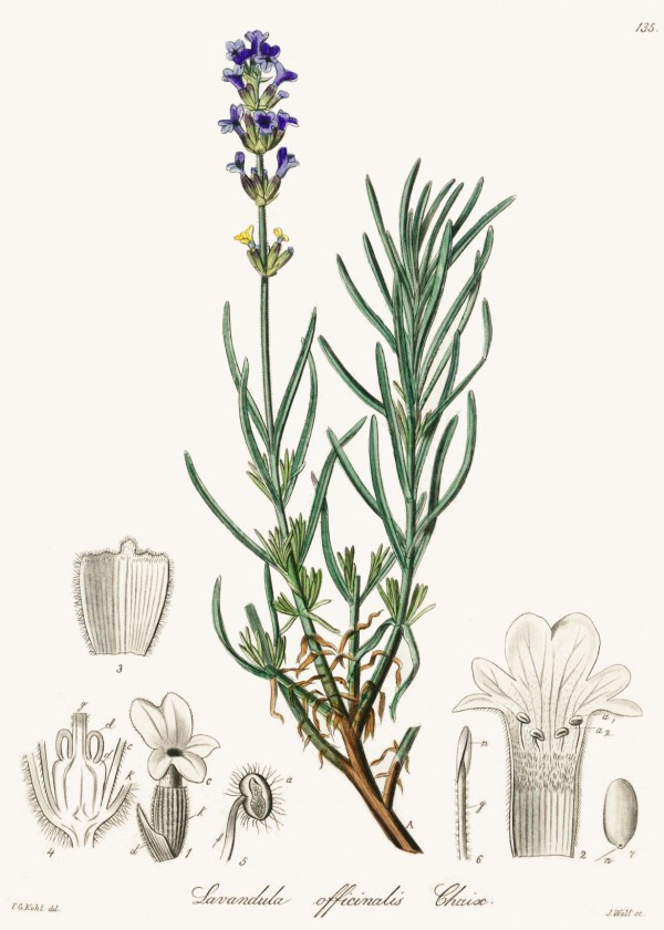 lavandula_officinalis.jpg