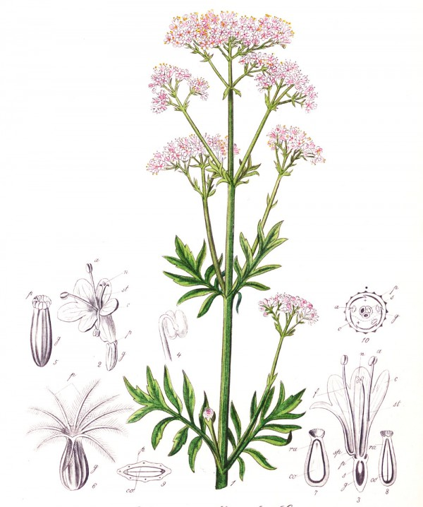 valeriana_officinalis.jpg