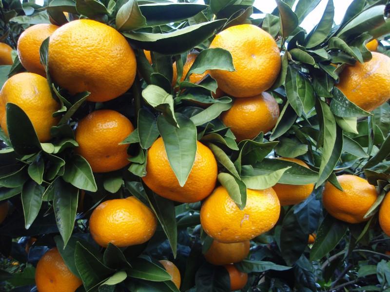 kernlose orange